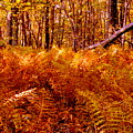 Fall Color In The Woods by Arlane Crump