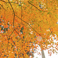 Fall Color Maple Leaves At The Forest In Aichi, Nagoya, Japan by Eiko Tsuchiya