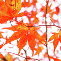 Fall Color Maple Leaves At The Forest In Kumamoto, Japan by Eiko Tsuchiya