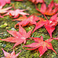 Fall Color Maple Leaves At The Forest In Nikko, Tochigi, Japan by Eiko Tsuchiya