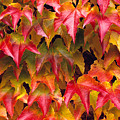 Fall Colored Ivy by Rita Ariyoshi - Printscapes
