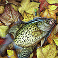 Fall Crappie by JQ Licensing