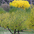 Bright Yellow Leaves, Dixon New Mexico by Judithann O'Toole