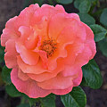 Fall Gardens Full Bloom Harvest Rose by Janis Nussbaum Senungetuk