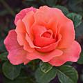 Fall Gardens Rosh Hashana Rose by Janis Nussbaum Senungetuk