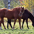 Horses Fall Grazing by Glenn Gordon