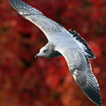 Fall Gull by Randall Ingalls