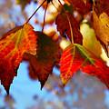 Fall In Maple Ridge by Susan Vineyard