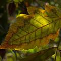Fall Leaf 2010 by Robert Ullmann