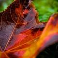Fall Leaf by Denny Howard