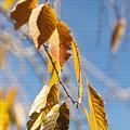 Fall Leaves Study 3 by Steve Ohlsen