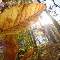 Fall Leaves by Trish Hale