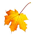 Fall Maple Leaf by Elena Elisseeva