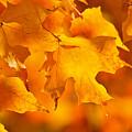 Fall Maple Leaves by Elena Elisseeva