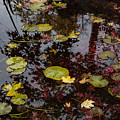 Fall Pond Reflections - A Story Of Waterlilies And Japanese Maple Trees - Take One by Georgia Mizuleva