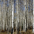 Fall Quaking Aspens Panorama by Richard Lynch