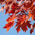 Fall Red Orange Leaves Blue Sky Baslee Troutman by Baslee Troutman