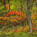 Fall Sumac Trees With Red Leaves In A Michigan Forest During Autumn by Randall Nyhof