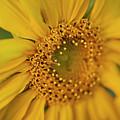 Fall Sunflower Avila, Ca by Heather Fiedler