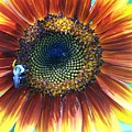 Fall Sunflower by Vijay Sharon Govender