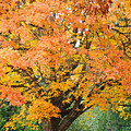 Fall Tree Art Print Autumn Leaves by Baslee Troutman