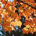 Fall Tree Art Prints Orange Autumn Leaves Baslee Troutman by Baslee Troutman