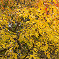 Fall Tree Leaves 2 by John Brueske