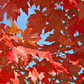 Fall Tree Leaves Red Orange Autumn Leaves Blue Sky by Baslee Troutman