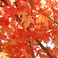 Fall Trees Colorful Autumn Leaves Art Baslee Troutman by Baslee Troutman