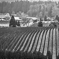 Vineyard In Black And White by Bruce Block
