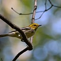 Fall Warbler by David Irwin