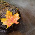 Fallen Leaf by Jim DeLillo