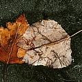 Fallen Leaves On Frozen Water by Merrimon Crawford