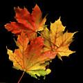 Fallen Leaves by Rich Stedman