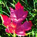 Fallen Maple Leaf by Don Baker