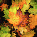 Fallen Maple Leaf by Rod Best