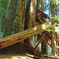Fallen Redwood Trees Forest by Baslee Troutman