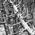 Fallen Tree And Snow by Thomas R Fletcher