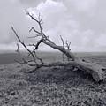Fallen Tree by Pamela Walton