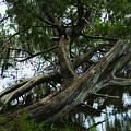 Fallen Tree  by Tracy Hayden