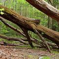 Fallen Trees by Bob Phillips