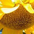 Falling Sunflower by Warren Thompson