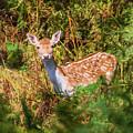 Fallow Deer 2 by Roy Pedersen