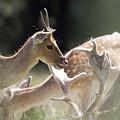 Fallow Deer by Angel Ciesniarska