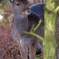 Fallow Deer Fawn by Bob Kemp