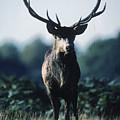 Fallow Deer Male by Steve Somerville