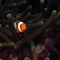 Clownfish In Anemone, Indonesia 3 by Pauline Walsh Jacobson