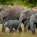 Family Of Elephants by Adrian O Brien