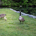 Family Of Geese by Morgain Bailey