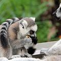 Family Of Lemurs by Sergey Lukashin